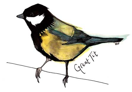 Sketch of a great tit by Hannah Foley (hannah@owlingabout.co.uk)