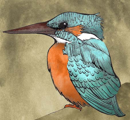 Illustration of a kingfisher by Hannah Foley. All rights reserved (www.owlingabout.co.uk)