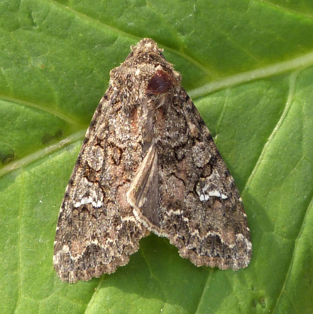 Cabbage Moth. Image taken from: www.naturespot.org.uk