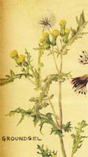 Groundsel by Margaret Erskine Wilson from Wild Flowers of Britain Month by Month.