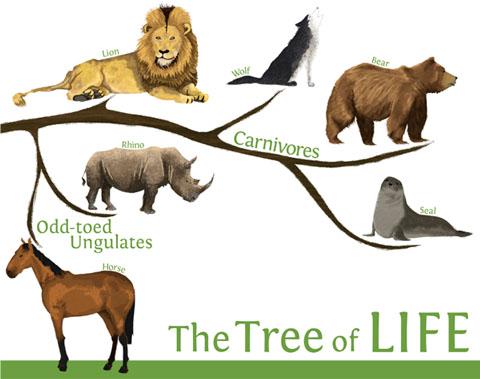 carnivores, lion, bear, wolf, odd-toed ungulates, common seal, rhino, rhinoceros, horse, animals, education, evolution, natural history, illustration, illustrator, Hannah Foley, children, kids