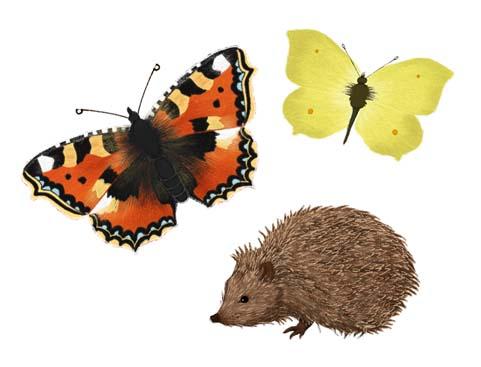 tortoiseshell, brimstone, butterfly, hedgehog, kids, children, natural history, illustration, illustrator, hannah foley, education,