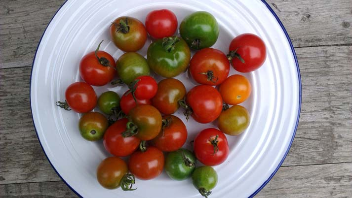 Photo of tomatoes ripening on a plate. All rights reserved (www.owlingabout.co.uk)