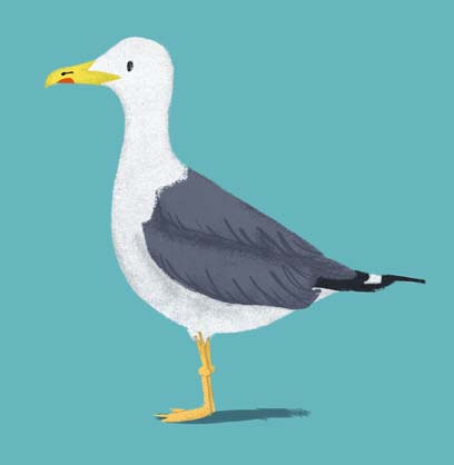 seagull, Hannah Foley, illustrator, herring gull, illustration, seagull. children book art, children books, picture books, non-fiction, birds