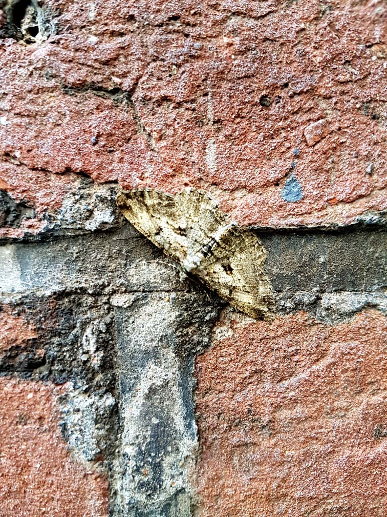 carpet moth, UK, Epirrhoe alternata, day-flying moth