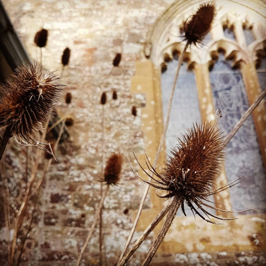 Churchyard teasels in Devon. Photograph by Hannah Foley. All rights reserved (www.hannah-foley@co.uk)