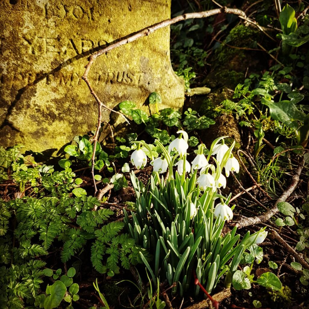 Graveyard snowdrops in Devon. Photograph by Hannah Foley. All rights reserved (www.hannah-foley@co.uk)