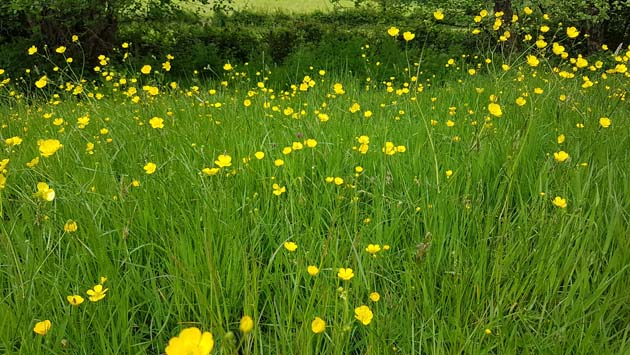 Buttercup meadow by Hannah Foley. All rights reserved (www.hannah-foley-co.uk)