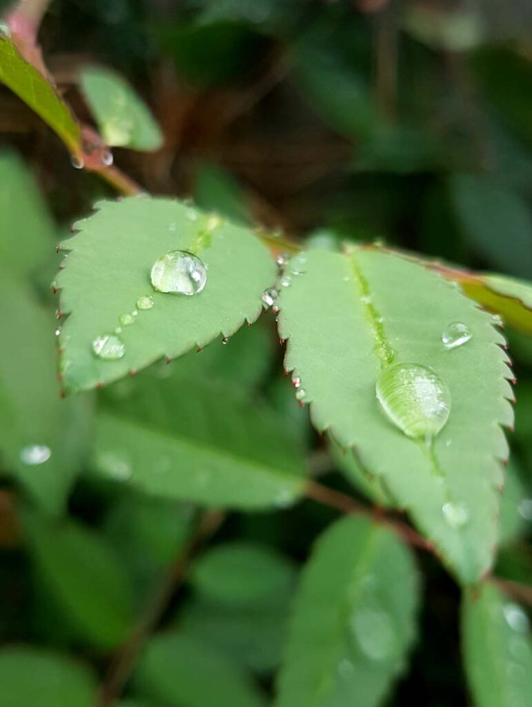 Photograph of raindrops on rose leaves by Hannah Foley. All rights reserved (www.hannah-foley.co.uk)