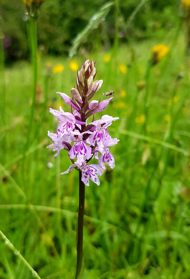 Common Spotted Orchid. Photograph by Hannah Foley. All rights reserved (www.hannah-foley.co.uk)